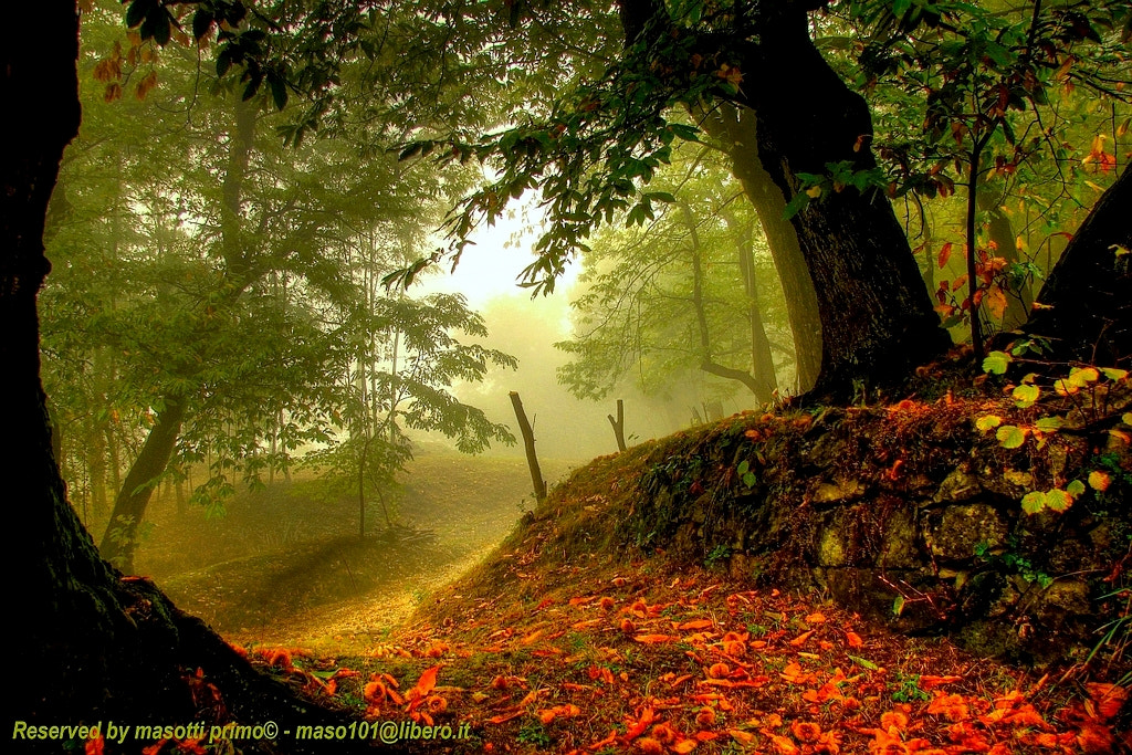 Photograph The ancient woods of chestnuts in autumn morning .. - Missano ( zocca modena italy )_7745_DVD 14 - ( by primo masotti on 500px