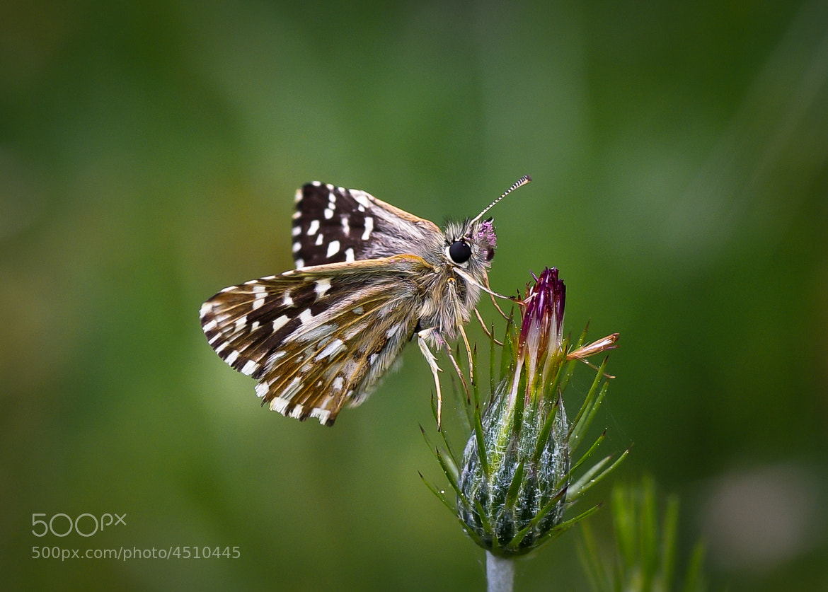 Photograph Pyrgus Melotis by Cihangir   Yariz on 500px