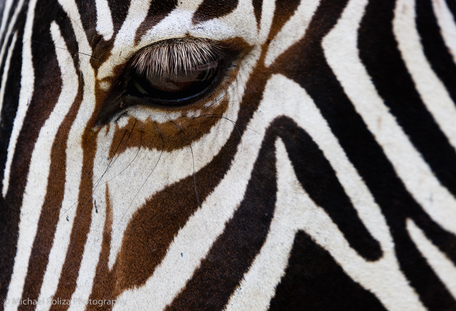 Photograph Grevy Zebra by Michael Poliza on 500px