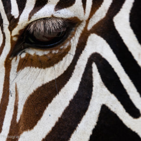 Grevy Zebra by Michael Poliza (Michaelpoliza)) on 500px.com