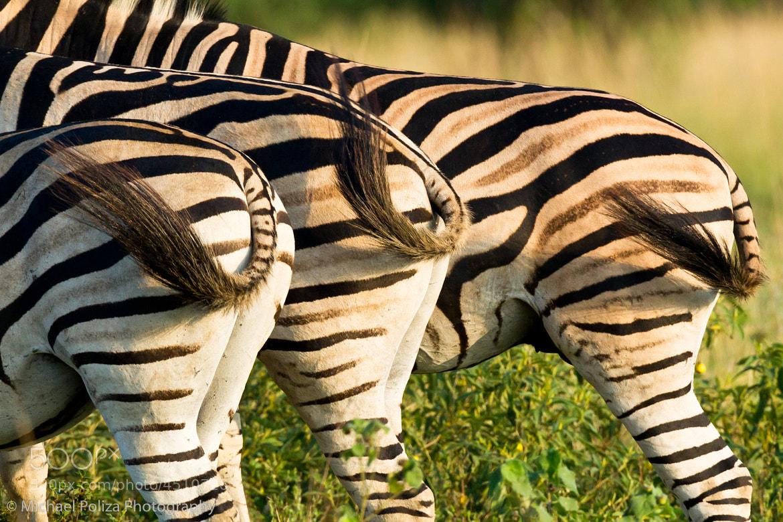 Photograph Trio of Zebras by Michael Poliza on 500px