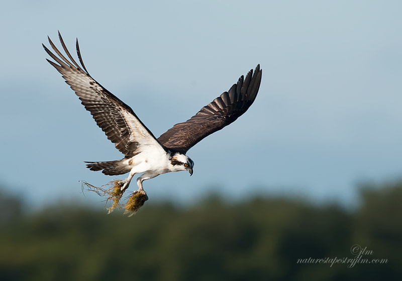 This was taken last week as the osprey was swooping down on the mud flats to pick up some of the grasses and mosses left behind when the tides had gone out.