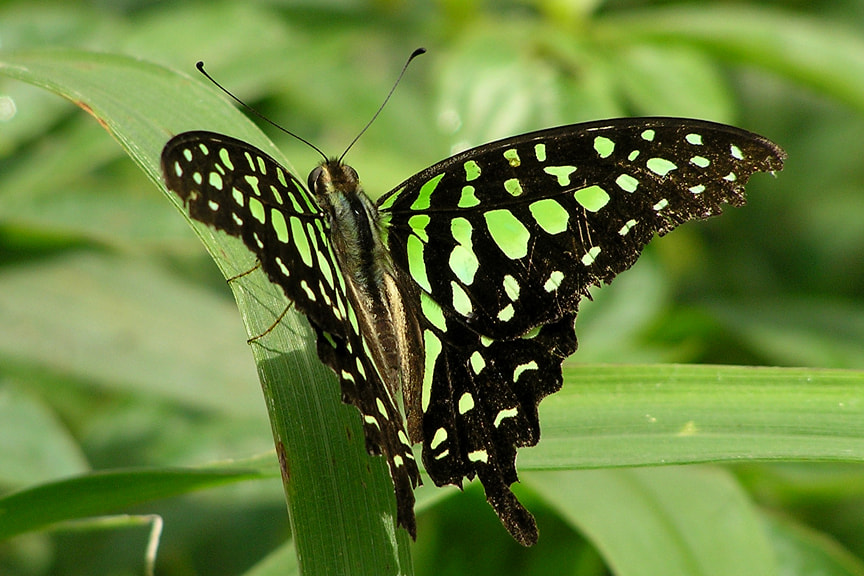 Photograph Tailed Jay by Santosh Namby on 500px