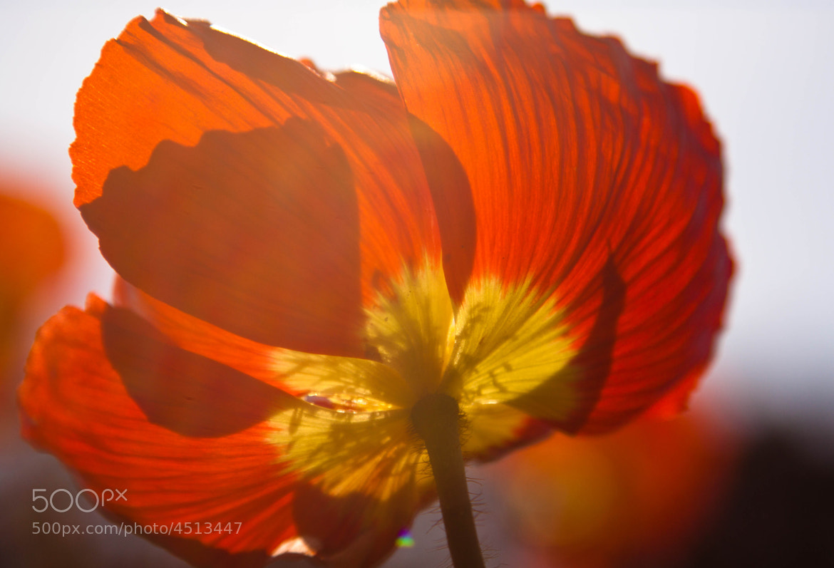 Photograph Red Iceland Poppy by Kelly Phillips on 500px