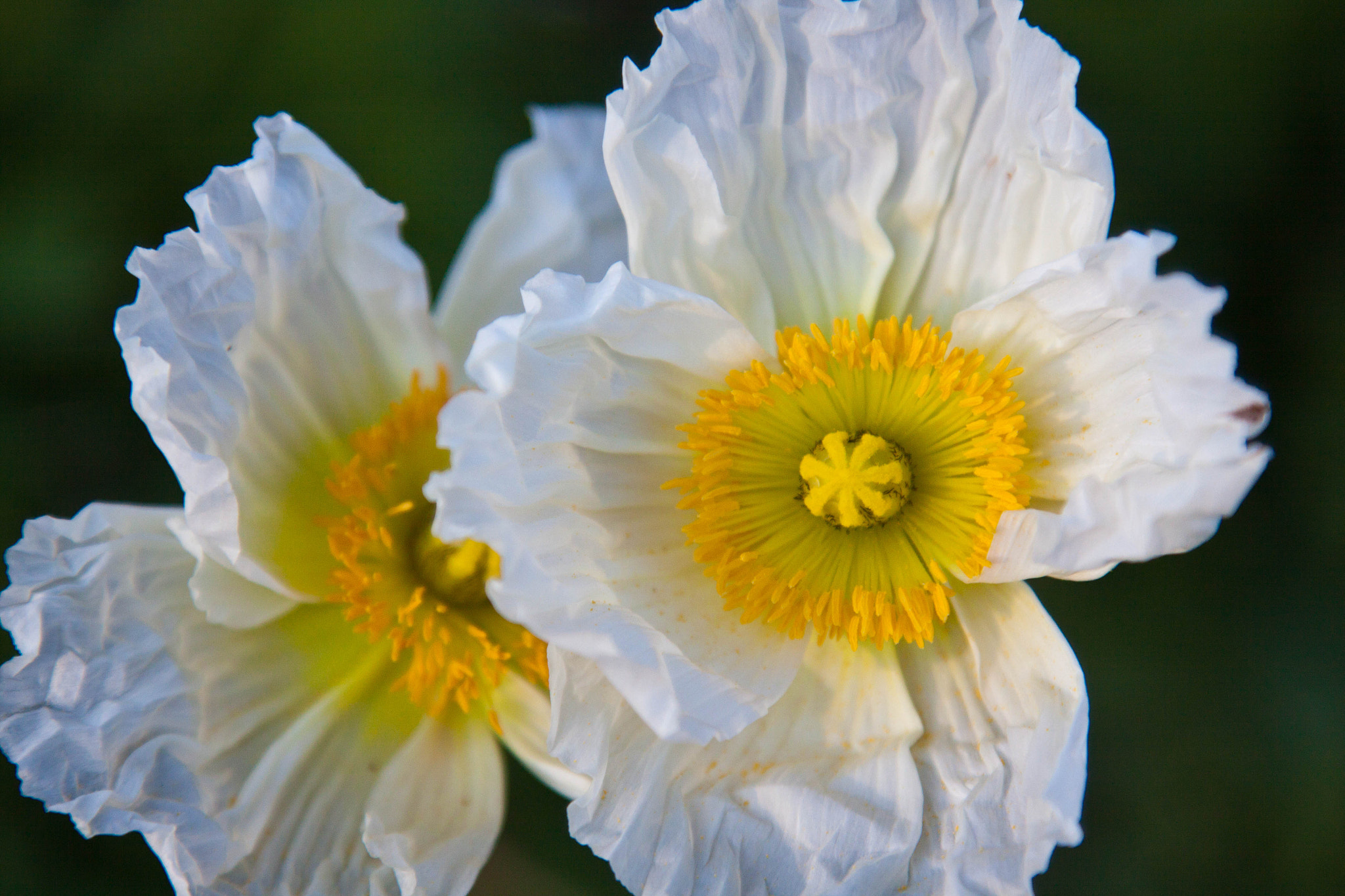 Photograph White Iceland Poppies by Kelly Phillips on 500px