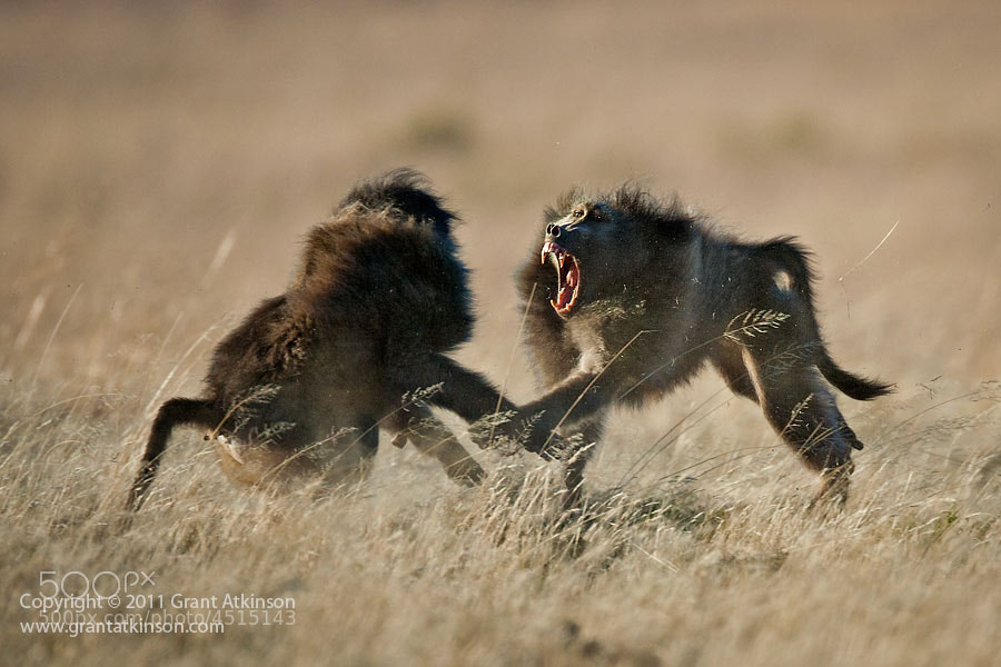Photograph Baboon Fight by Grant Atkinson on 500px