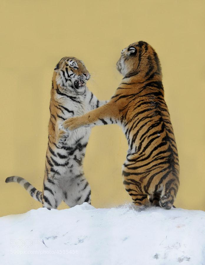 Tigerdance 2 by Jutta Kirchner (juttakirchner) on 500px.com
