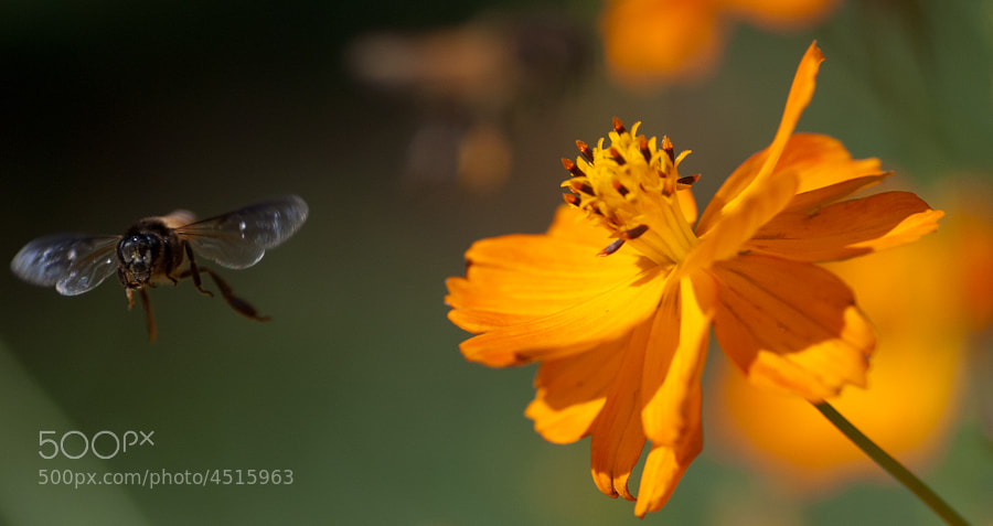 Honey Bee by shande ) on 500px.com