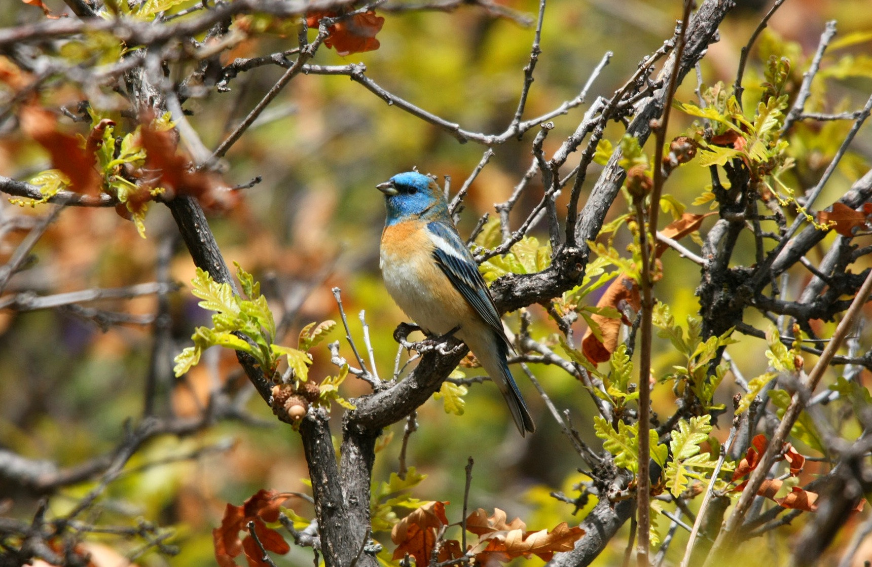 Photograph Lazuli Bunting by Craig Eckerle on 500px
