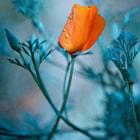 Eschscholzia californica ( Pozłotka kalifornijska)