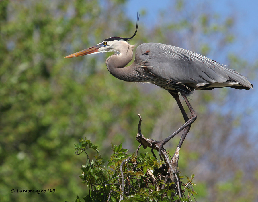 Great Blue Heron enjoying the view from a tree top. I was on a bridge so was able to get good height for this shot. it was windy as you can see from his hairdo. I was amazed at how good his balance was.