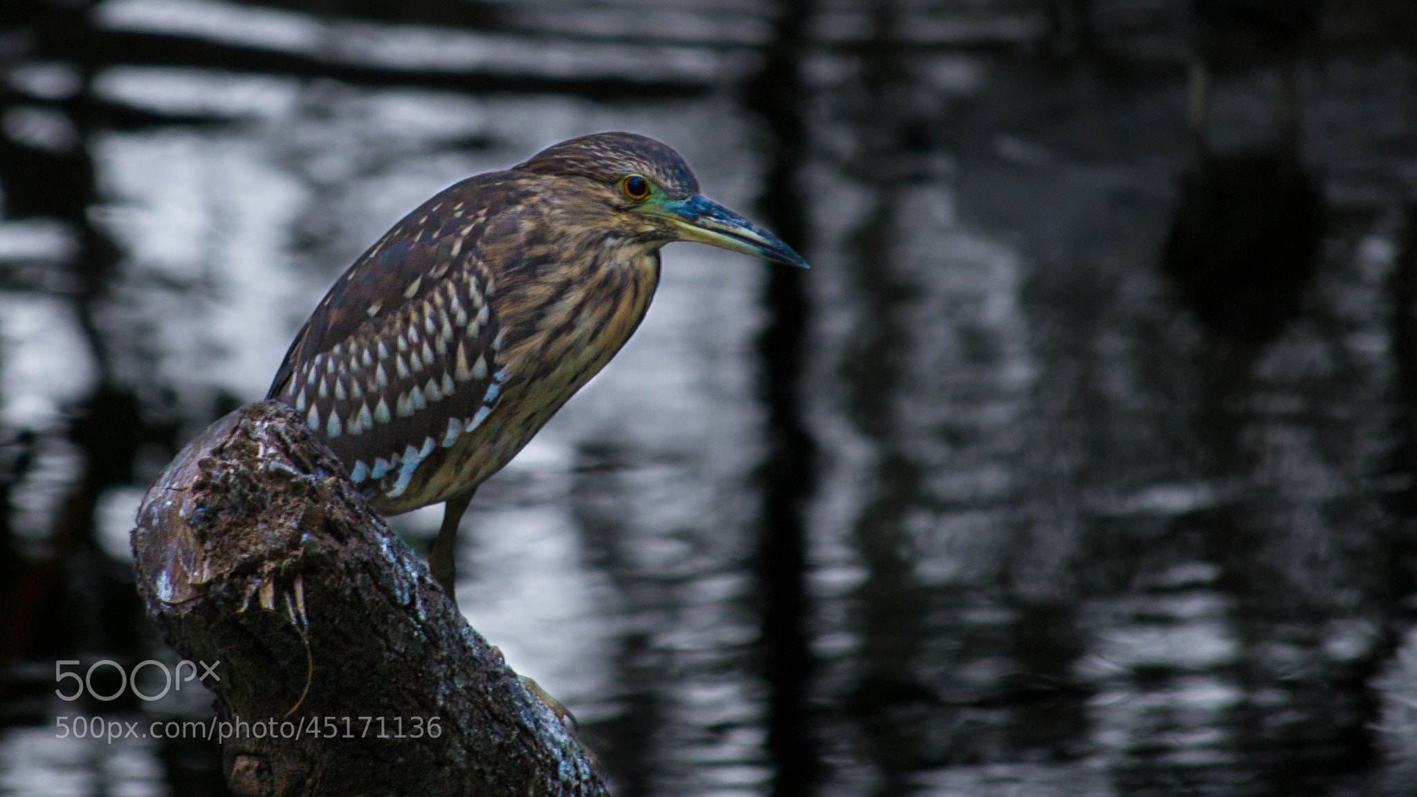 Photograph Night Heron by Saurabh Ganguli on 500px