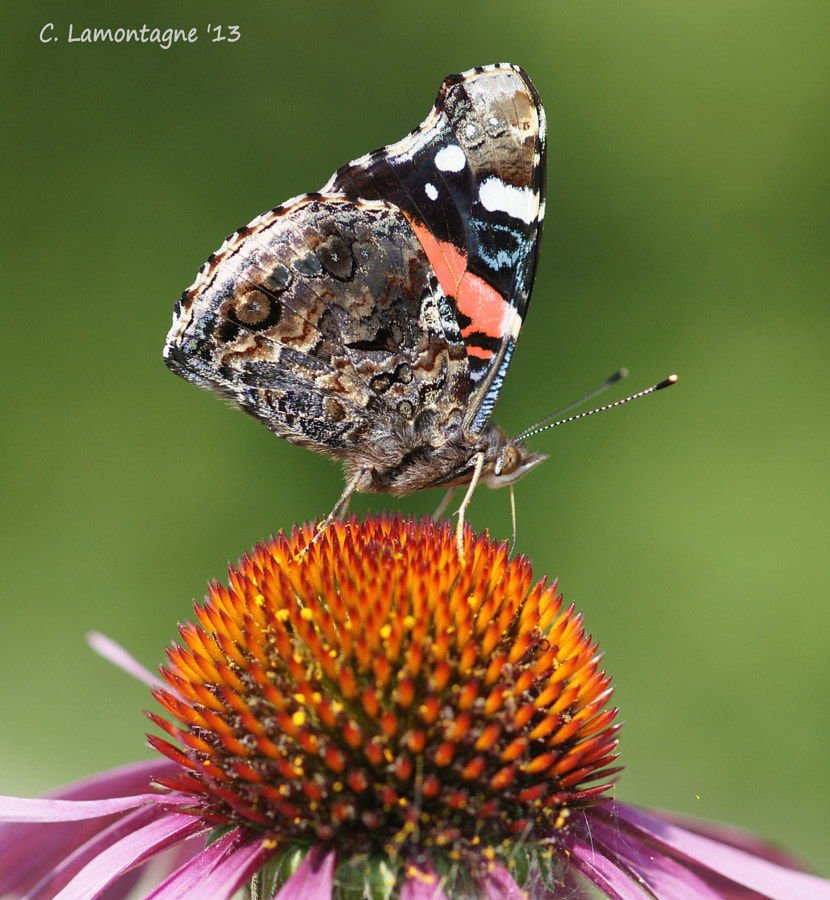 Red Admiral butterfly on Cone Flower. Gillies Lake, Timmins, Ontario. I didn't see one this year :(  This was taken last summer.