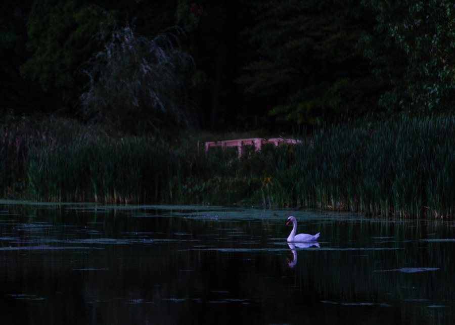 After Sunset, the swan just stood outin the dark upon the pond.  Again, to me, it took on the quality of a painting.