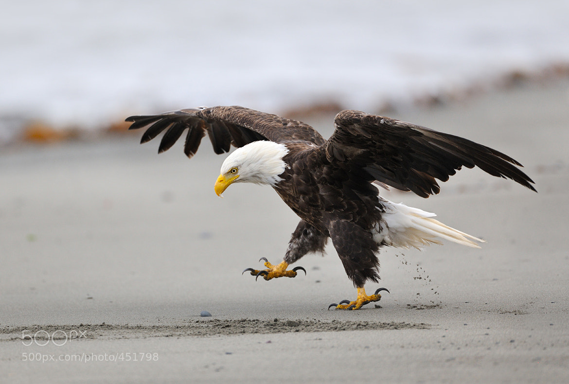 Photograph March of the bald eagle by Nikolai Zinoviev on 500px