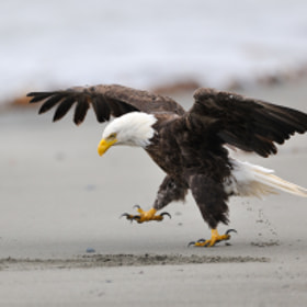 March of the bald eagle by Nikolai Zinoviev (nsz) on 500px.com
