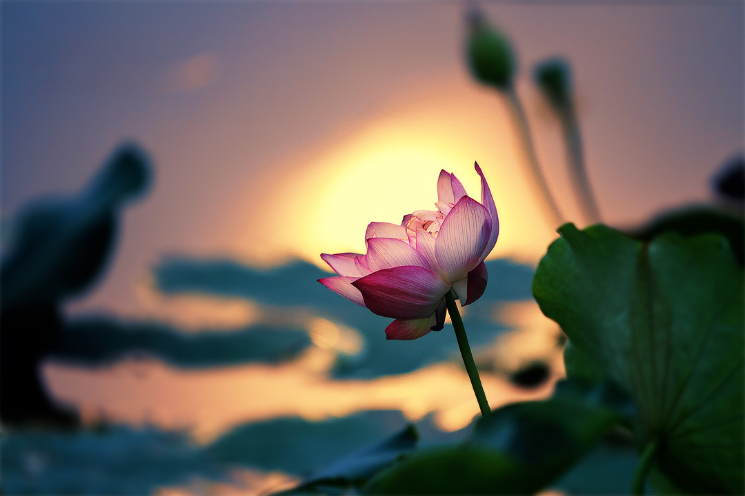 Photograph Lotus by amhx on 500px