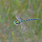 A male Southern Hawker (Aeshna cyanea) in flight.