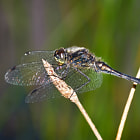 A male Black Darter (Sympetrum danae) resting on some reed.