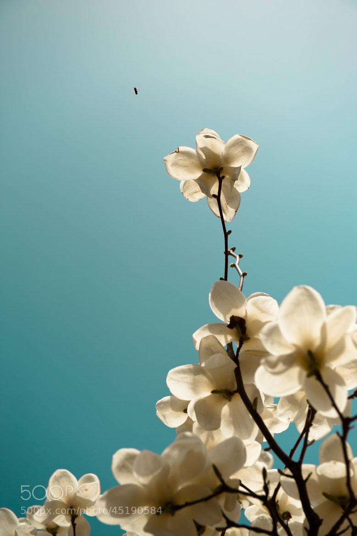 Photograph Yulan Flower by zhe zhu on 500px