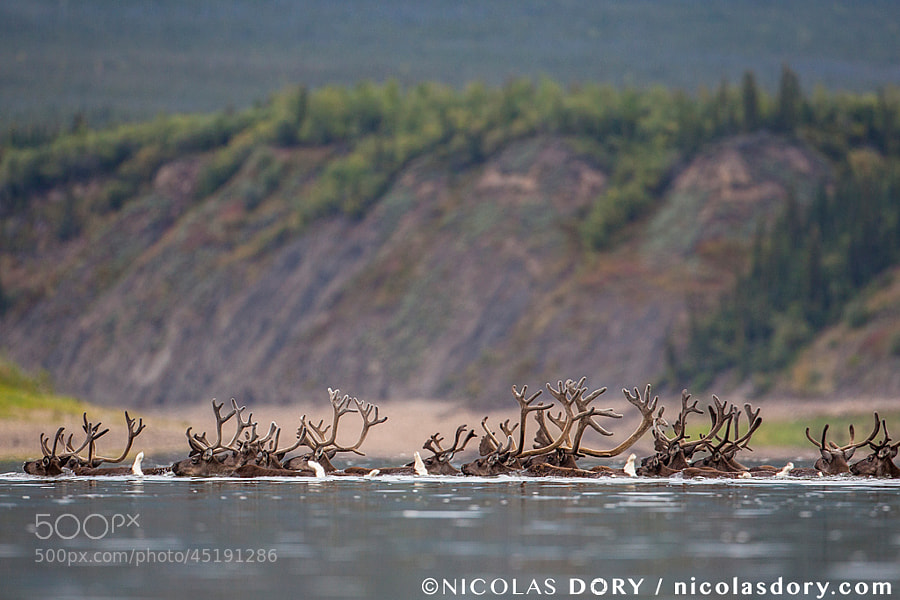 Photograph Porcupine Caribou by Nicolas Dory on 500px