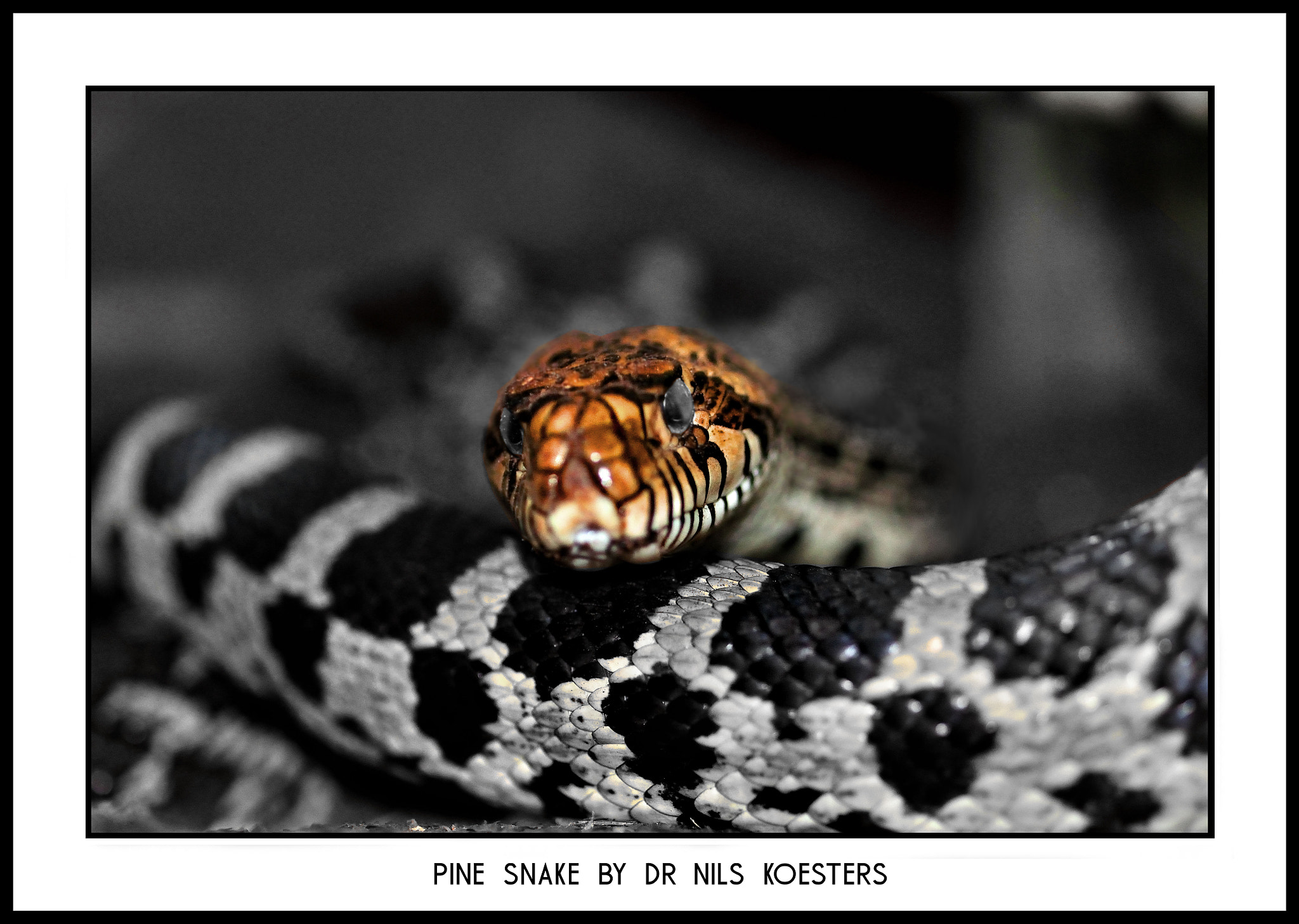 Photograph Pine Snake by Nils Koesters on 500px