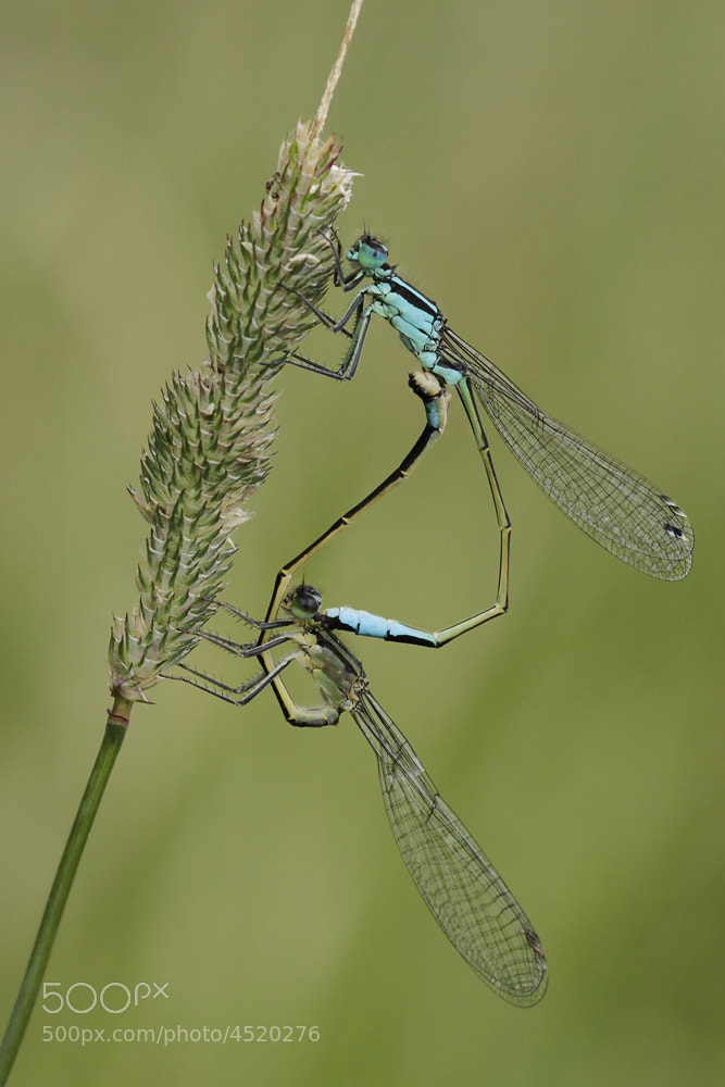 Photograph Blue-tailed Damselflies by Neil Smith on 500px