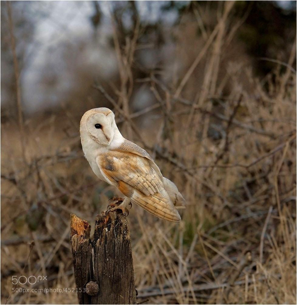 Photograph Barn Owl by John Robinson on 500px