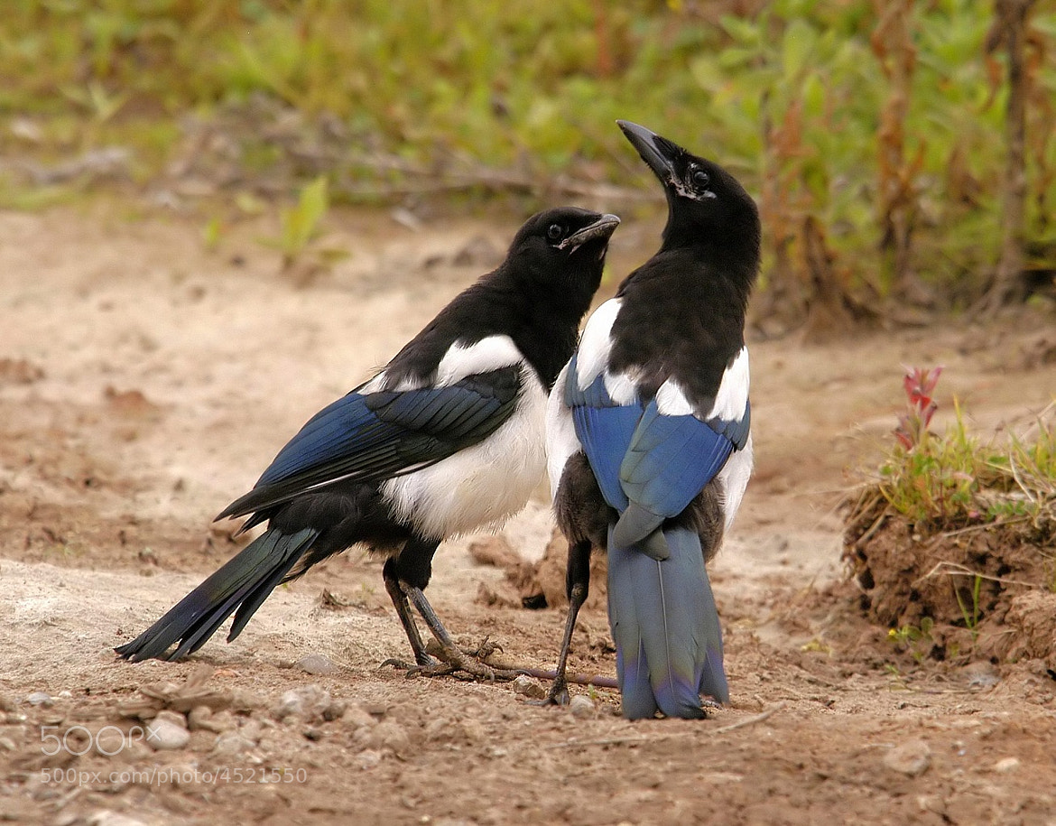 Photograph Magpies talking ! by John Robinson on 500px