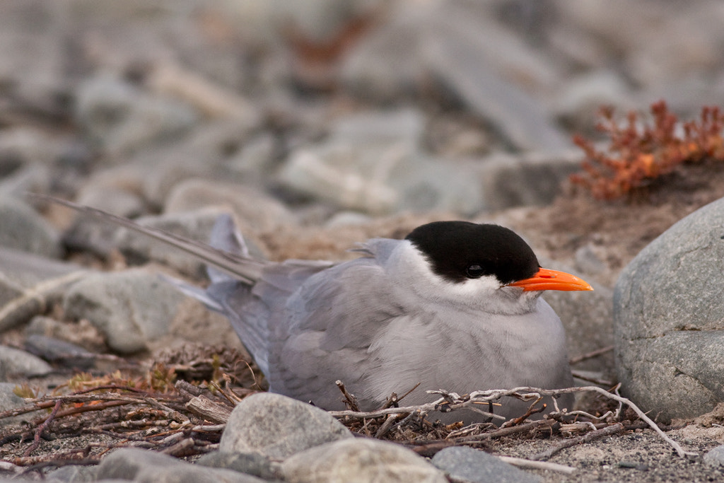 Photograph Black-fronted tern at the nest by Paul Sorrell on 500px
