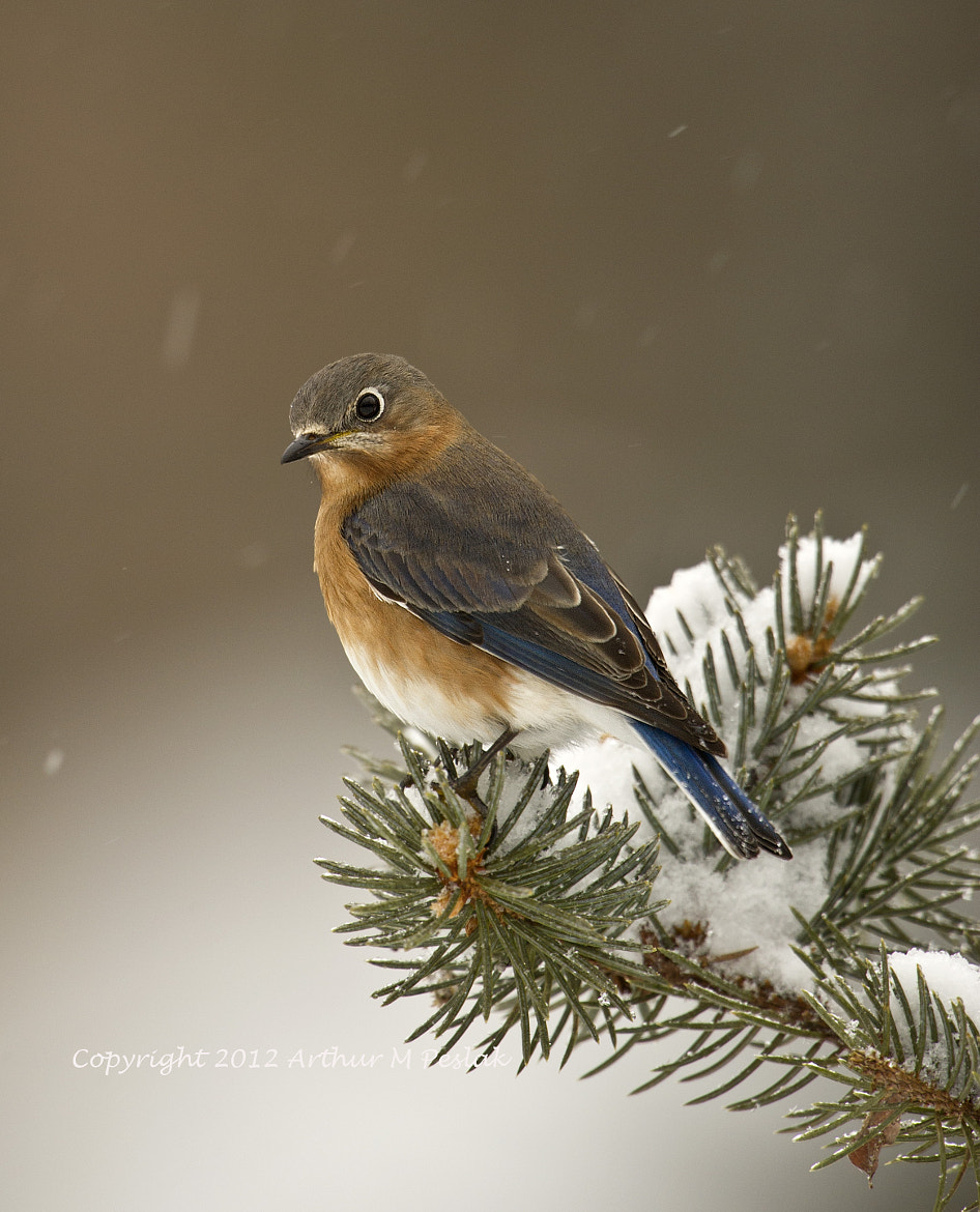 Photograph Eastern Bluebird in Snow by Art Peslak on 500px