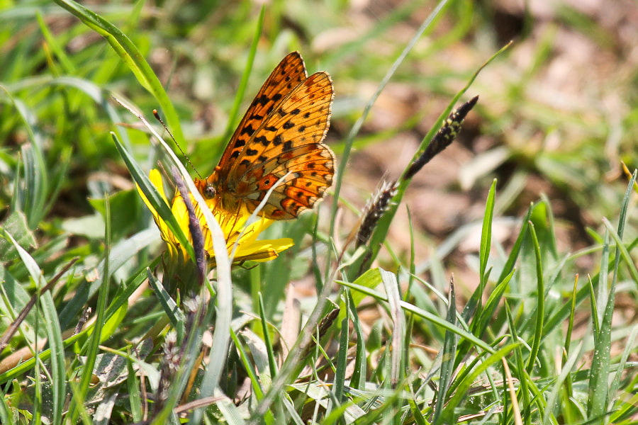 Photograph Pearl-bordered Fritillary by Kate Johnson on 500px