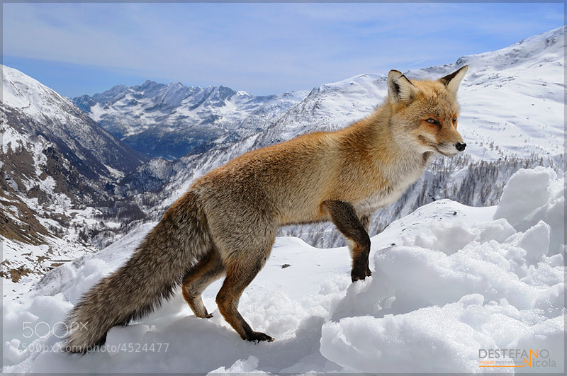 Photograph Snowy Red Fox by Nicola Destefano on 500px