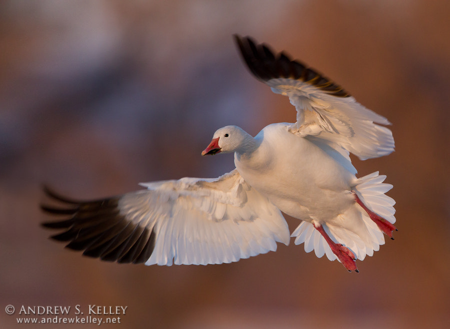 Photograph Snow Goose Flare by Andrew Kelley on 500px