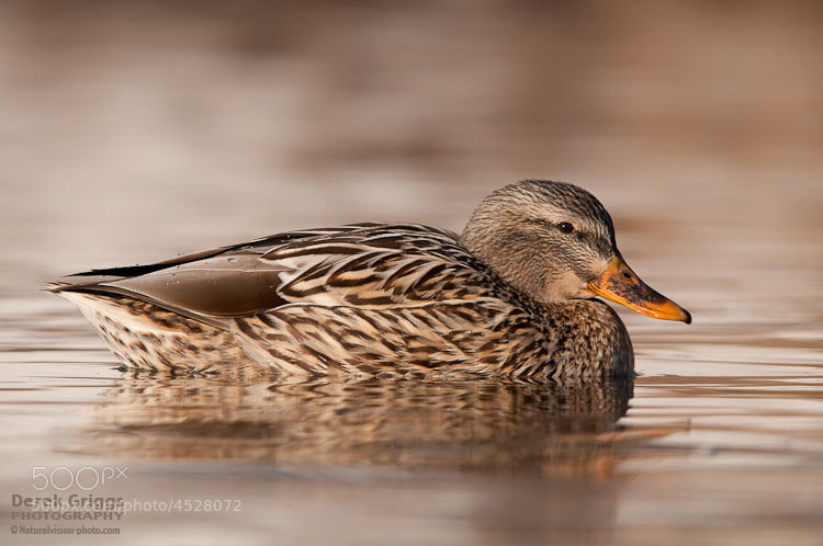 Lazy Sunday Mallard