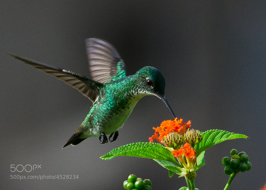 Photograph Plain-bellied Hummingbird  by Vishnu  Prasad on 500px