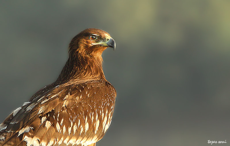 Photograph greater spotted eagle by Tejas Soni on 500px