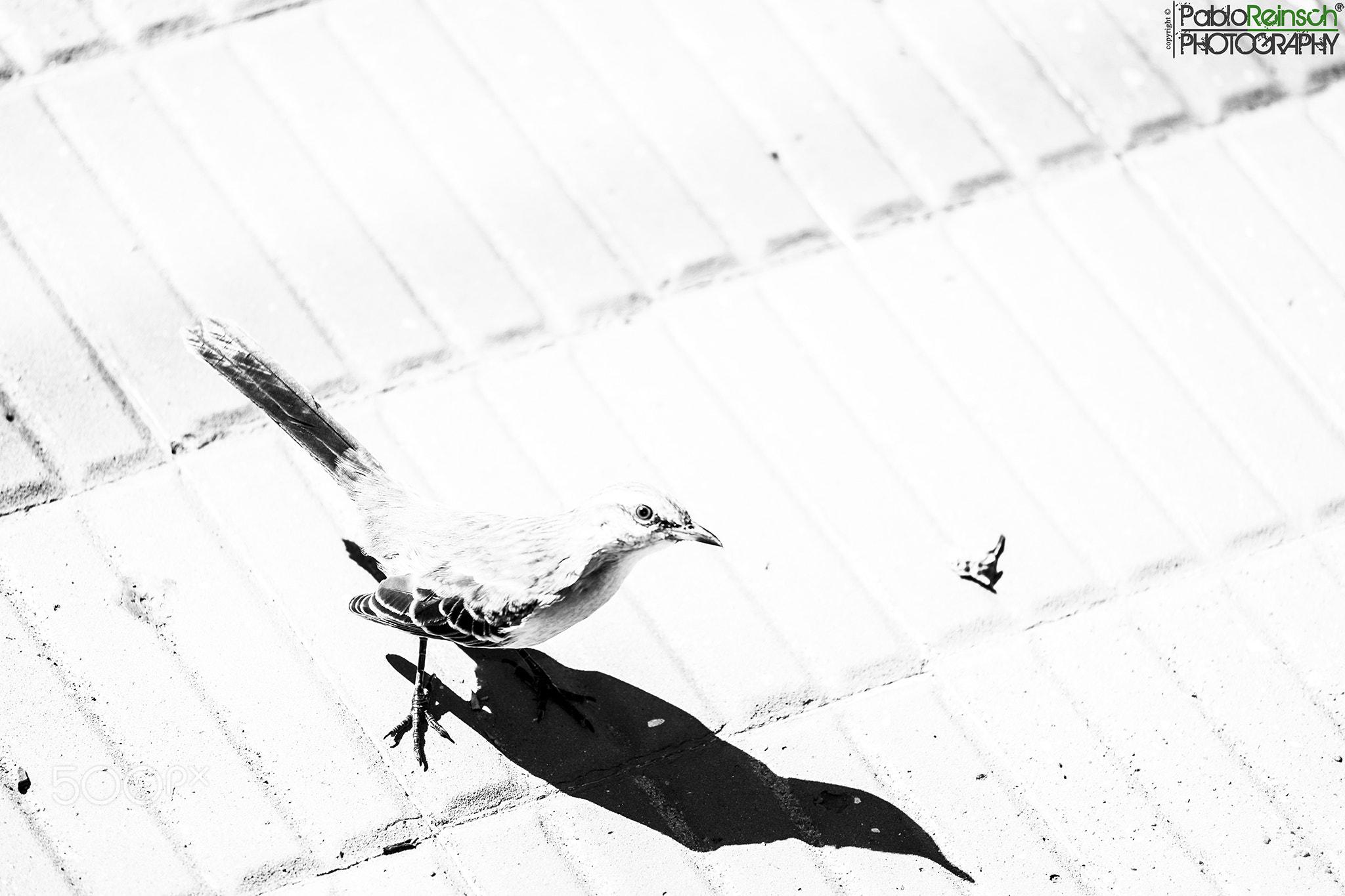 Photograph Calandria en clave alta.- by Pablo Reinsch on 500px