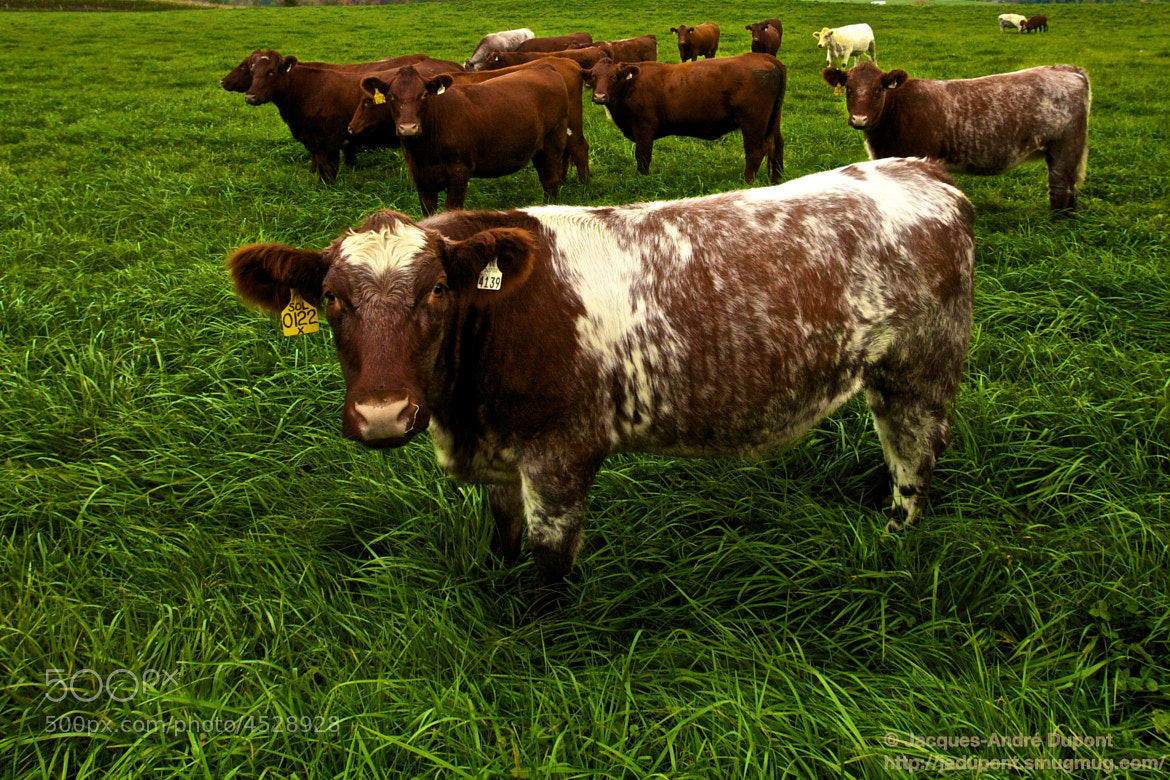 Photograph If I was a cow I'd eat that luscious grass! by Jacques-Andre Dupont on 500px