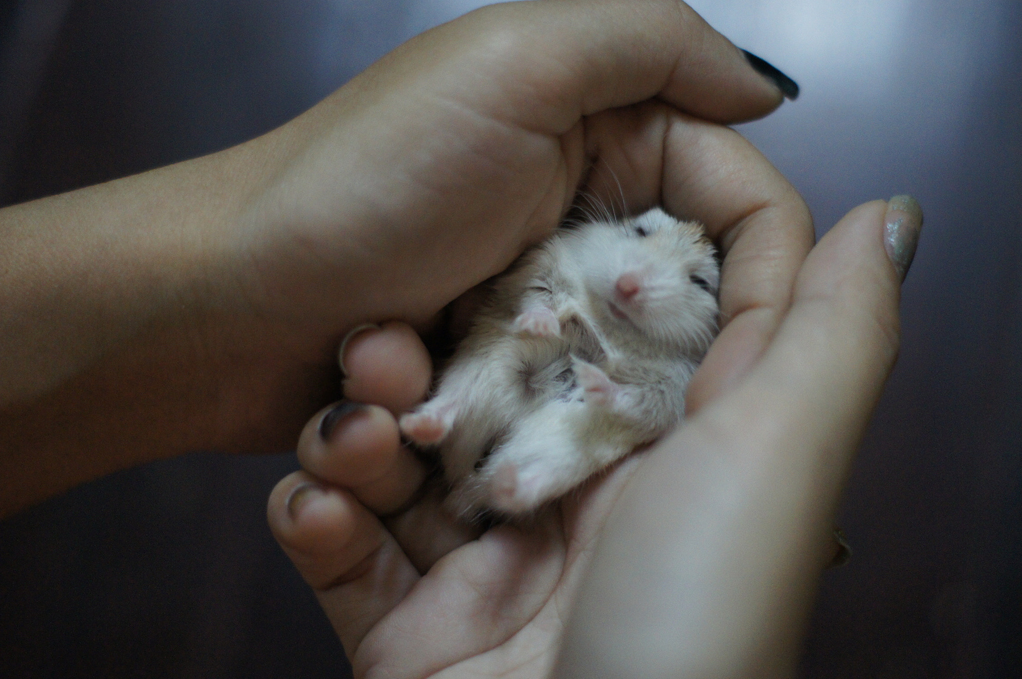 Photograph Cute Hamster by Thiha Min Thant on 500px