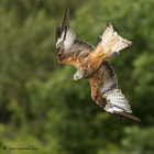 Red Kite flight