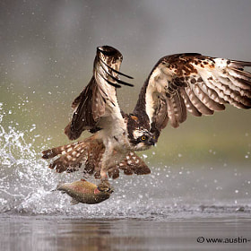 An Osprey catching a Trout early one misty morning...