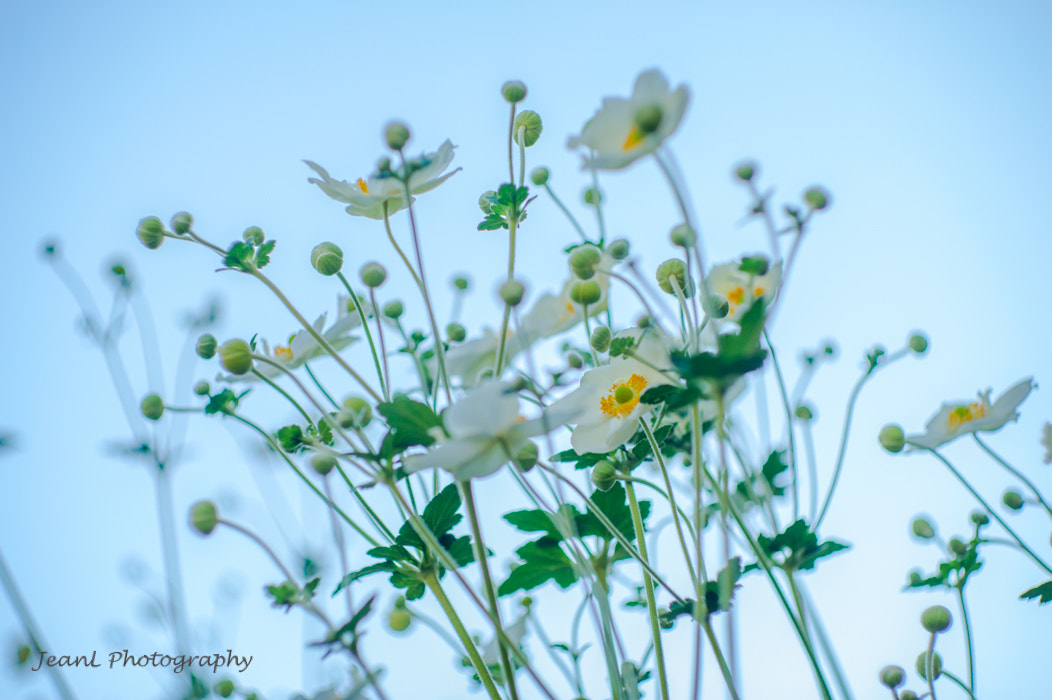 Photograph White flowers in blue by Jean Li on 500px