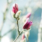 beautiful spring magnolia