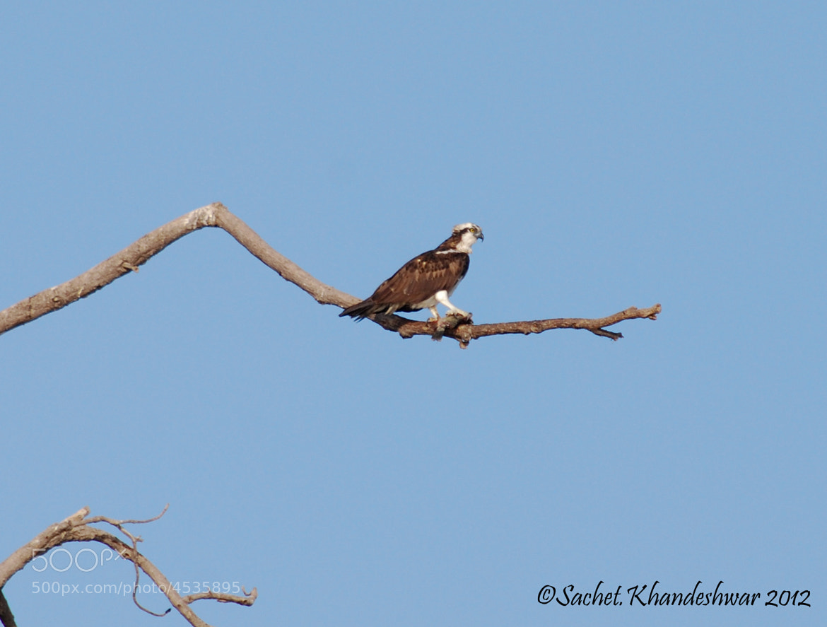 Photograph osprey by Sachet Khandeshwar on 500px