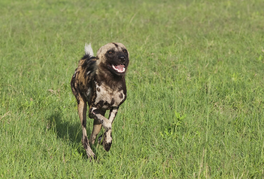 Wild Dog youngster arrives at a kill made by the elders.