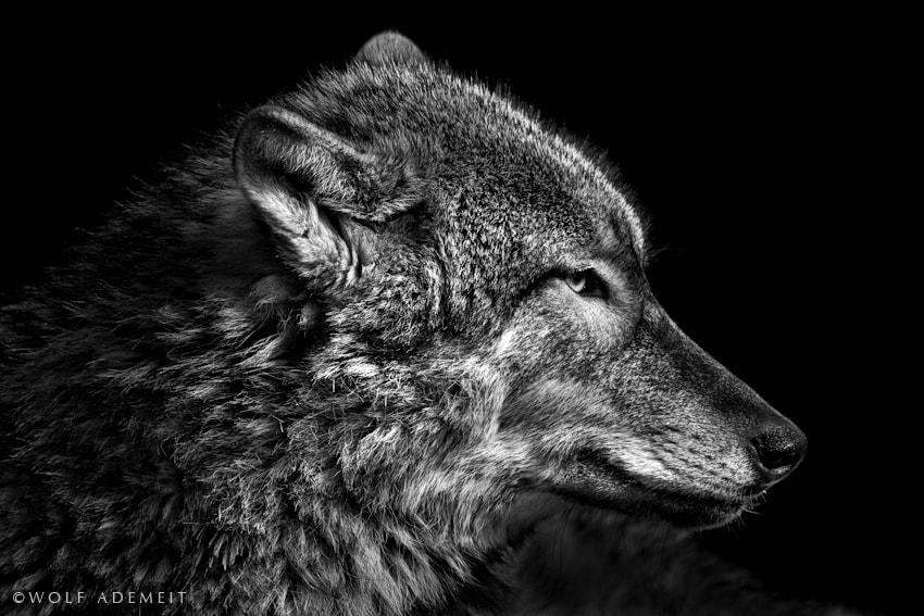 Photograph THE WOLF by Wolf Ademeit on 500px