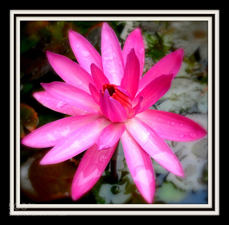 Photograph Lotus by Cynthia Ho on 500px