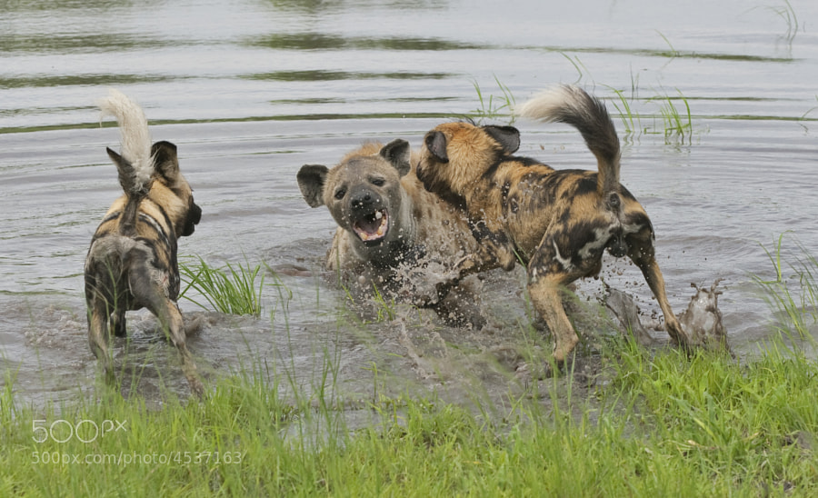 Wild Dog and Hyena are not the best of friends!  This one had stolen an Impalla carcass from a Lioness and when it saw the Wild Dog coming it dragged the carcass into the water, quite understandably it was given up and the Wild Dog pups made good use of it