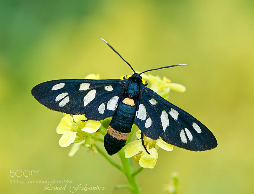 Photograph The Nine-spotted Moth by Leonid Fedyantsev on 500px